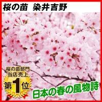 桜 苗木 染井吉野 1株 / 桜の木 サクラ 花木 記念樹