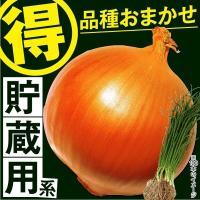 商品情報 貯蔵用の玉ねぎ苗を1品種おまかせでお届けします。※品種名称ラベル付きです。 お届け状態  ...