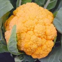種 野菜たね カリフラワー F1オレンジカリフラワー 1袋(30粒) / 野菜のタネ 野菜 種子 国華園