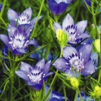 種 花たね ニゲラ ブルースター 1袋(100mg) / 花種 花の種 はなたね クロタネソウ 黒種草 ブルーガーデン 青い花 鉢 花壇 プランター