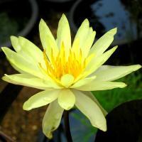 水生植物 温帯睡蓮 黄花 1ポット