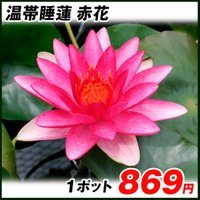 水生植物 温帯睡蓮 赤花 1ポット