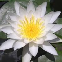 水生植物 温帯睡蓮 白花 1ポット