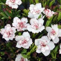 夏植え球根 八重咲オキザリス シンデレラムーン 5球 / 花の球根 国華園