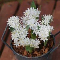 夏植え球根 ポリキセナ ホワイト 5球 / 花の球根 国華園