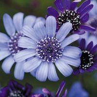 種 花たね フェリシア ブルー 1袋(150mg) / 花種 花の種 はなたね フェリキア ブルーガーデン 青い花 鉢 花壇 プランター