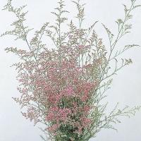 種 花たね 宿根スターチス カスピア 1袋(20粒) / 花種 花の種 はなたね リモニウム リモニューム Limonium ドライフラワー