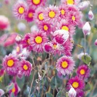 種 花たね ローダンセ ローズ 1袋(200mg) / 花種 花の種 はなたね 鉢植え向き 鉢向き 花壇向き プランター向き 鉢・花壇向き ドライフラワー
