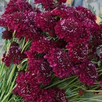 種 花たね スカビオサ 濃赤 1袋(20粒)