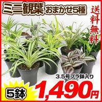 観葉植物 おまかせミニ観葉植物3.5号 5種5鉢 送料無料