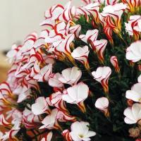 夏植え球根 オキザリス バーシカラー 10球 / 花の球根 国華園