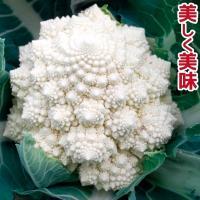 種 野菜たね カリフラワー F1白サンゴ礁花椰菜(はなやさい) 1袋(30粒) / 野菜のタネ 野菜 種子 国華園