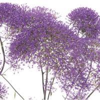 種 花たね 夕霧草 紫 1袋(50mg)