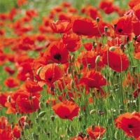 種 花たね ポピー フランダース 1袋(30粒)