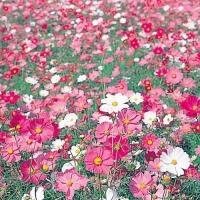 種 花たね大量販売 コスモス畑 1袋(1000g) / タネ 種 アキザクラ 秋桜 国華園