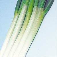 種 野菜たね ネギ 石倉根深太葱 1袋(10ml) / タネ たね ねぎ 葱 葱 ネギ 【YTC40】