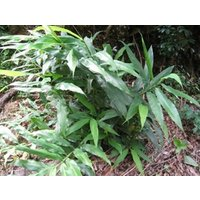 ミョウガの根(地下茎)です。 長さ10cm以上の物10本セットです。 プランターなどに植え付けて育て...