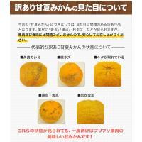 送料無料 甘夏みかん1.5kg 甘夏の名産地熊本県産 自家用訳あり 3セット購入で3セット増量 複数セットの場合1箱にまとめて配送 6月上旬-6月下旬頃より出荷|kumamotofood|12