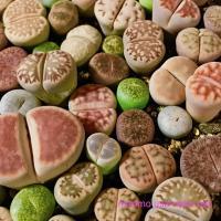 多肉植物リトープスmix栽培セット 種20粒と育てるのに必要なものが揃ってます♪生きる宝石を育ててみませんか^^