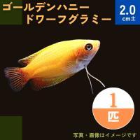 (熱帯魚・アナバス)ゴールデンハニー ・ドワーフグラミー SMサイズ 3匹|mame-store