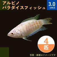 (熱帯魚・アナバス) アルビノパラダイスフィッシュ  SMサイズ 5匹|mame-store