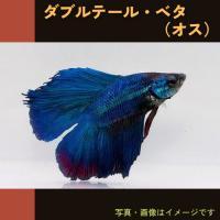 (熱帯魚・ベタ・アナバス)ベタ ダブルテール オス 色おまかせ 1匹|mame-store