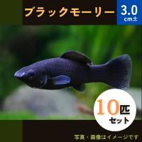 (熱帯魚・カダヤシ・メダカ)ブラックモーリー 10匹|mame-store