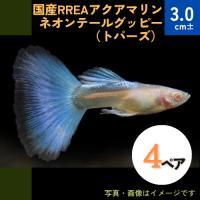 (熱帯魚・メダカ・グッピー) 国産RREAアクアマリンネオンテール(トパーズ)  2ペア|mame-store