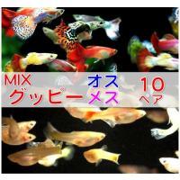 (熱帯魚・メダカ・グッピー) ミックスグッピー 10ペア (スリランカ産)|mame-store