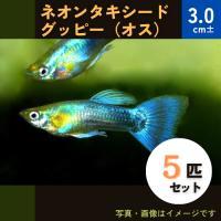(熱帯魚・メダカ・グッピー)ネオンタキシードグッピー  オス 5匹(スリランカ産)|mame-store