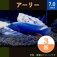 (熱帯魚・アフリカンシクリッド)HAPL.アーリー  4-5cm 5匹|mame-store