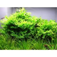 (水草)ミクロソリウム・ウェンディーローブ(1束分)|mame-store