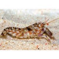 (海水魚・エビ) ニシキテッポウエビ SMサイズ 1匹|mame-store