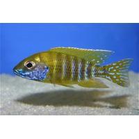 【熱帯魚・アフリカンシクリッドセット】アーリー5匹(4cm前後)+イエローピーコック5匹(5cm前後)|mame-store|03