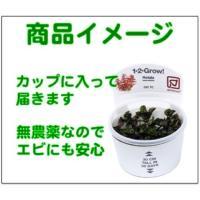 (Tropica・水草)  ブラジリアン・コブラグラス 1・2・grow!(tropicaトロピカ) 1カップ|mame-store|03