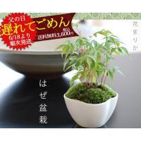 ■商品説明 苔盆栽 樹木ははぜ 春の新緑 夏の涼しげな緑 秋には紅葉を楽しめるハゼ 山ごけを植えてあ...