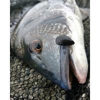 焼津のルアーマンが作ったイガイそっくりな落とし込み専用ルアーです。 ワーム素材で作られたソフトな貝型...