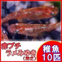 (メダカ)赤ブチラメみゆき(幹之)めだか 虹色ラメ 未選別 稚魚 SS-Sサイズ 10匹セット