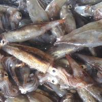 ◆商品内容 浜坂産 小いか(冷凍)約200g(2-3人前) サイズ大小混ざり 白いか(ケンサキイカ)...