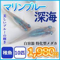 メダカ/マリンブルーメダカ 深海 稚魚10匹/マリンブルーめだか