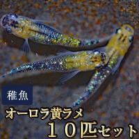 メダカ / オーロラ黄ラメめだか 虹色ラメ 未選別 稚魚 SS-Sサイズ 10匹セット 限定大特価
