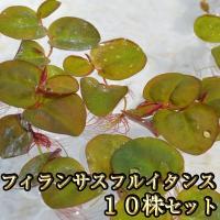 【特徴】 浮草  【サイズ】 大小混合  ※季節や在庫状況によりサイズは若干異なります。  【発送に...
