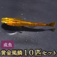 【特徴】 黄金の体色で鱗に黒い模様が入るめだかです。黒い容器で飼育すると模様がはっきりでます。  【...