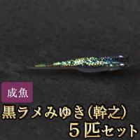 【特徴】 体に虹色のラメ状の光が入るめだかです。ラメの多い少ないは個体差がありますが、ラメが確認でき...