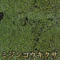 【特徴】 最小の種子植物で大きさは1mm以下です。 めだかのエサとしても最適です。 内容量:直径5c...