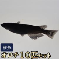メダカ / オロチめだか 稚魚 SS-Sサイズ 10匹セット 限定大特価
