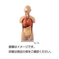 【商品名】人体解剖模型 AL-16