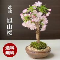 送料無料。桜の盆栽【旭山桜(あさひやまさくら)の盆栽(信楽焼茶鉢)】