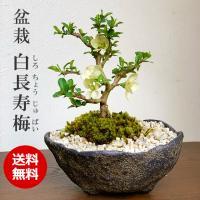 送料無料!盆栽 白長寿梅(しろちょうじゅばい)の盆栽(くらま鉢)