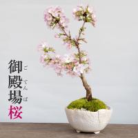 送料無料。一重の桜の盆栽【御殿場桜(ごてんばざくら)の盆栽(万古白深鉢)】